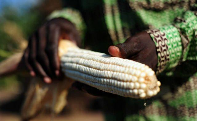 Demandan a gobierno de Ghana por comercializar OGM